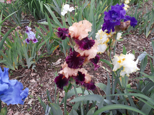A group of Tall Bearded Iris. Ocelot is the beauty in the center with peach colored standards and royal purple falls.