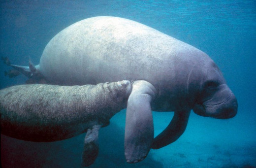 Manatee (sea cow) with calf