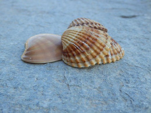 Seashells can be used for crafts