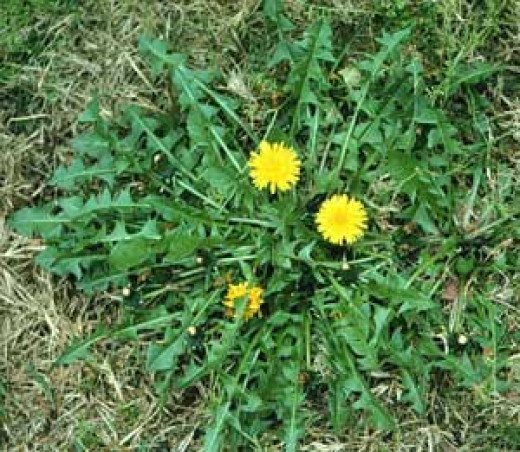 Dandelions growing in the park. Caution: dandelions growing in public places are full of pesticides.