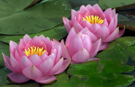 Beautiful pink lotus flowers taken at James Irvine Japanese Garden.