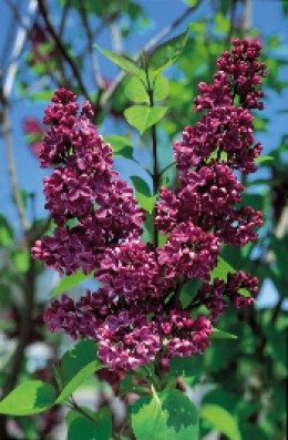Charles Joly Lilacs available at StarkBros.com