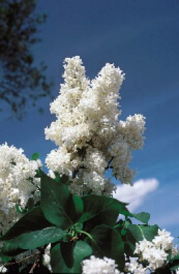 Edith Cavell White Lilac available at StarkBros.com