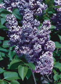 President Grevy Royal Blue Lilacs available at StarkBros.com