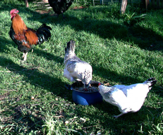 Rooster keeping watch while hens get some treats.