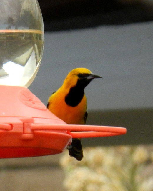 Our first hooded oriole. They do enjoy jelly too.