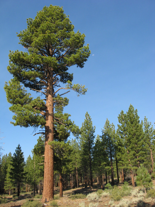 A large mature east side Jeffrey Pine Pinus jeffreyi growing on volcanic table lands south of Mono Lake, Ca. Photo taken approximately one mile east north east of Deadman's Pass, off of US HWY 395. The stand is composed of pure Jeffrey Pine with diff