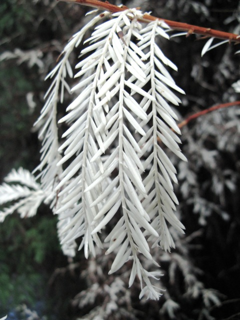 A branch from an 'albino' Sequoia sempervirens exhibiting lack of chlorophyll.