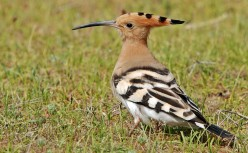 Hoopoe      { Birds of Europe }