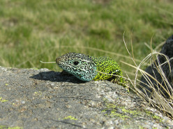 The Iberian Emerald Lizard lives in Spain and Portugal but is a