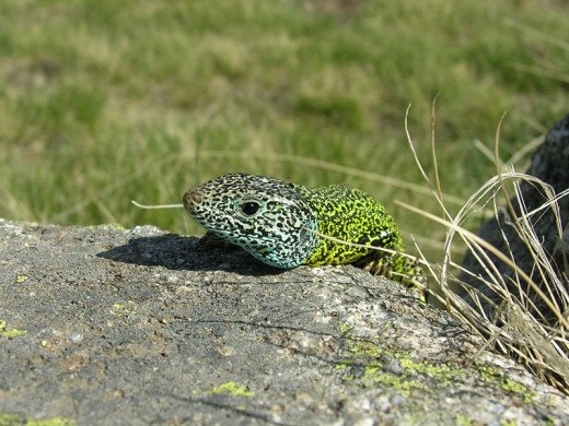 Male Iberian Emerald Lizard
