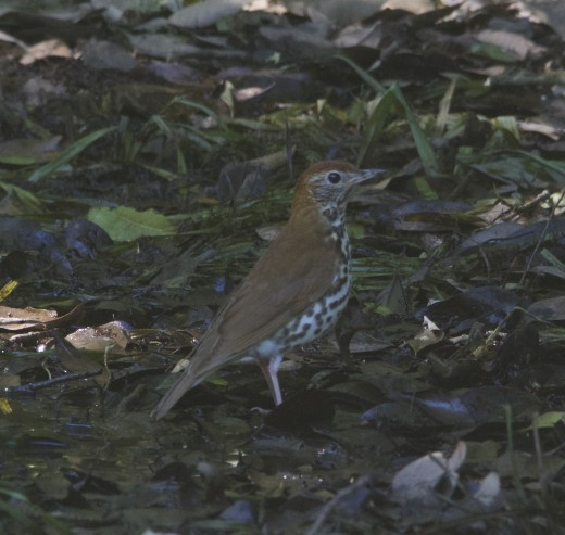 Wood Thrush on Deep Forest Floor