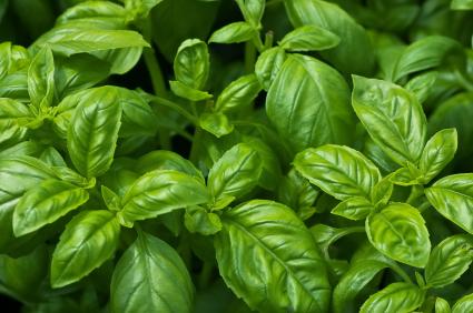 Basil growing in abundance