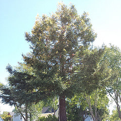 Chimera Redwood tree