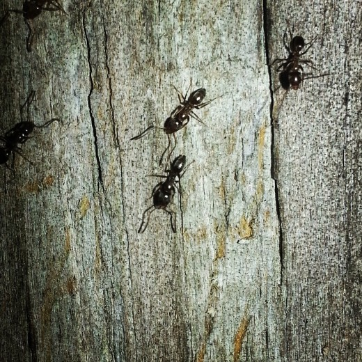 These are southern black ants