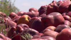 What do you think about Washington state farmers dumping $100M worth of apples?