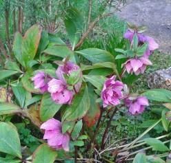 Poisonous Plants: Hellebore, Oleander and Vinca or Periwinkle
