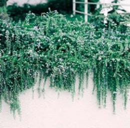"Rosmarinus officinalis ""Huntington's Carpet"""