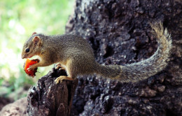 Squirrel eats a fruit in Manyara National Park, Tanzania