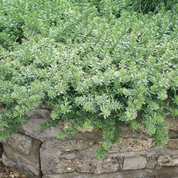 Myoporum parvilolium