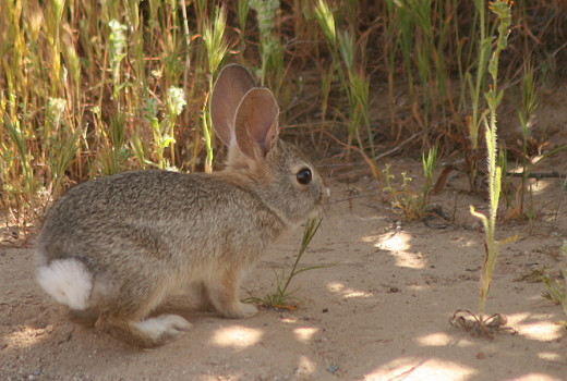 The cottontail rabbit is preyed upon by many in the Sonoran desert.