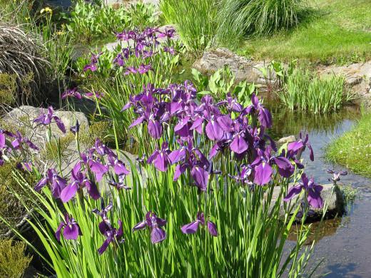 Irises growing beside a stream in a botanical garden