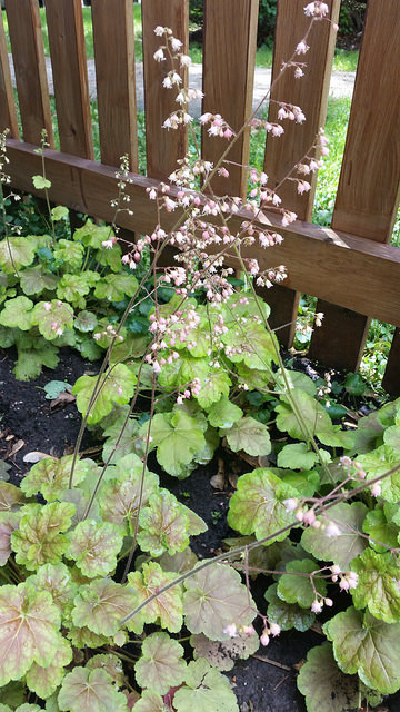 "Heuchera ""Caramel"" blooming with delicate pink flowers."