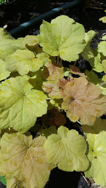 "Heuchera ""Caramel"" sparkling in the morning sun"