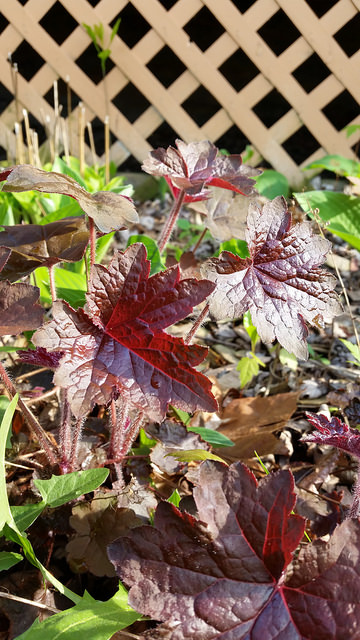 Evening Sun bouncing off the glossy leaves of this Heuchera in my front planting bed