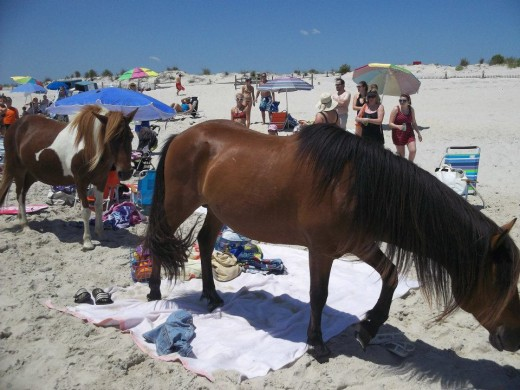 The horses will visit you on the beach.  Just get out of their way and everything will be fine!