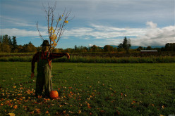 Traditional scarecrow guarding his owner's pumpkin patch.