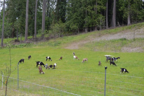 Goats grazing on the hillside