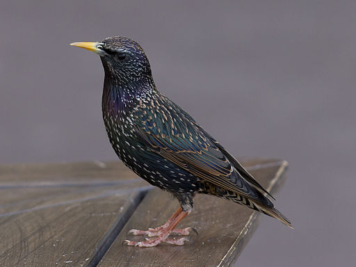 Adult Starling