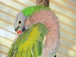 My moustache parakeet