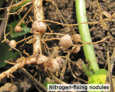 Root nodules of cowpea