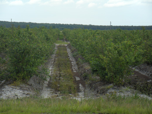 The Blueberry Fields getting ripe for picking