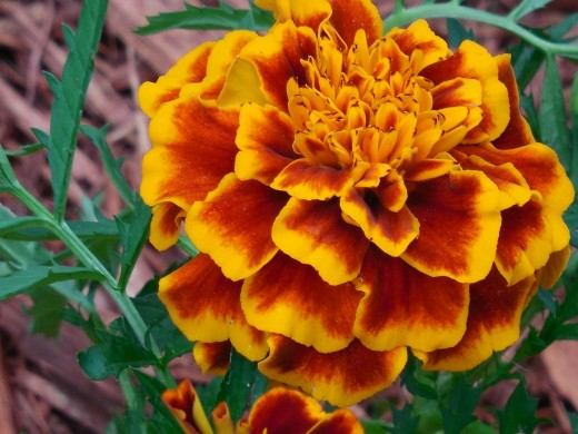 Mosquitoes don't like marigolds, so plant plenty of these bright blooms in your garden if you want to keep those blood-sucking bugs away from you!