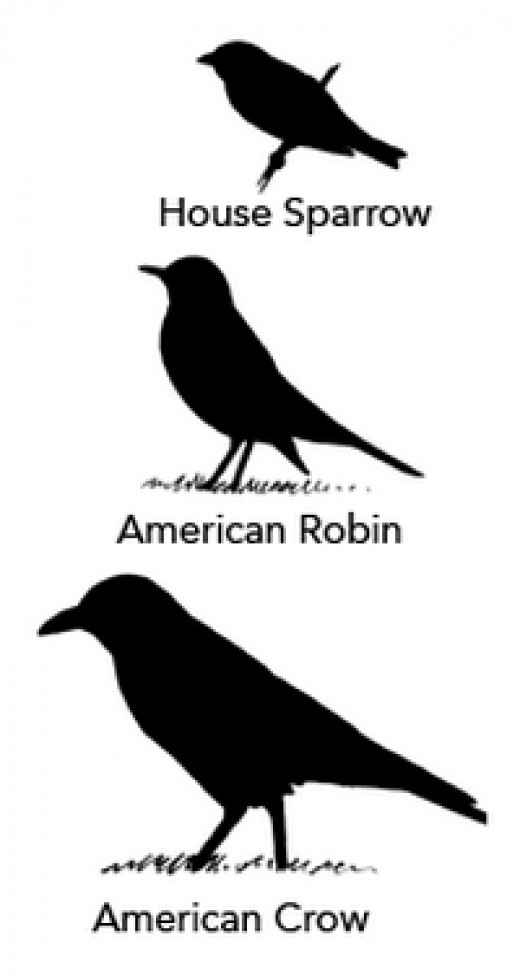 Relative size differences in song birds. Captured from allaboutbirds.org