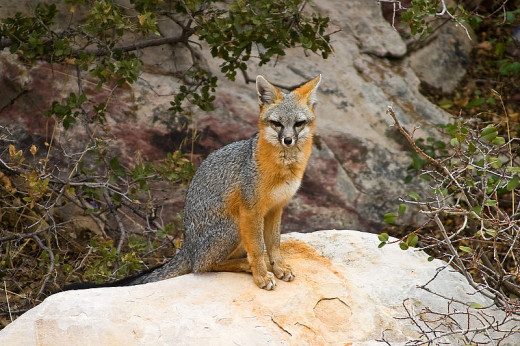 A grey fox in Red Rock Canyon.