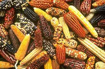 Maize Gene Pool
