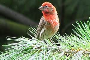 Red Headed Sparrow is now identified as a house finch.