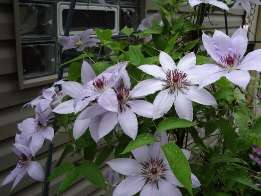 "Clematis ""Clare De Lune"" variety"