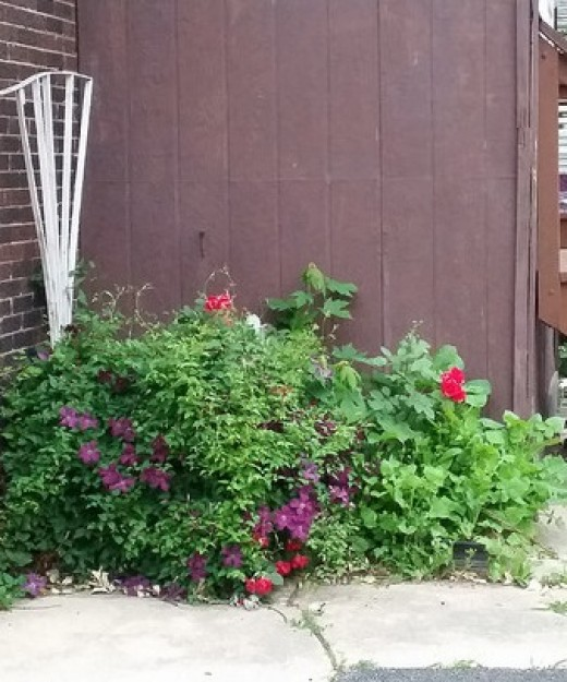 """A combination of Clematis """"Jackmanii"""" and a Climbing Rose in late spring.  This will go on to climb to great heights!"""