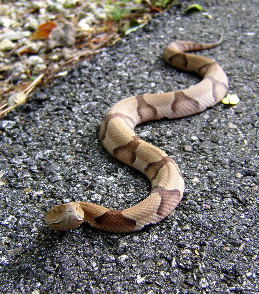 The markings on a copperhead are very distinct and shaped like hourglasses.