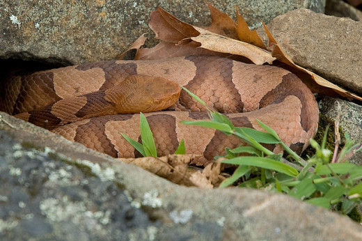 A copperhead snake has a wedge-shaped head.
