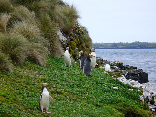 On the shore of Enderby Island, Auckland Islands.