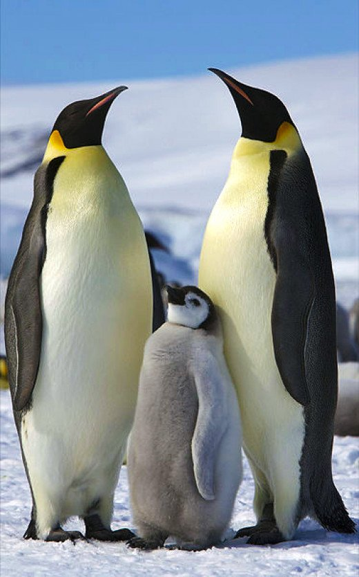 Adults and a juvenile on Snow Hill Island, Antarctica.
