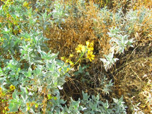 I like how the California brittle brush flowers are so vibrant, despite the arid surroundings.