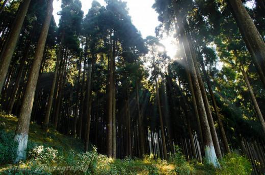 Forest in Darjeeling