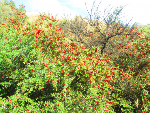Another hollyleaf berry bush with many little red berries.